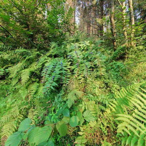 Карпатський ліс. Папороть